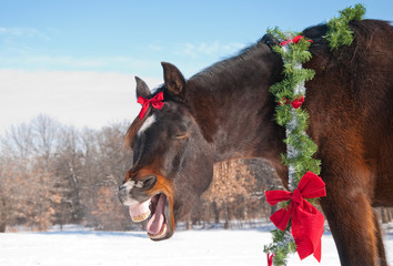 Comical image of a dark bay horse yawning while wearing a bright Christmas wreath and a bow with winter background
