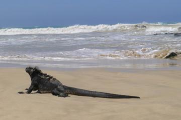 Ecudor, Galapagos, Isabela Island, Marine iguanas