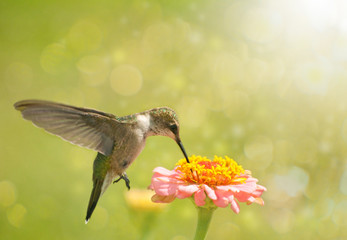 Dreamy image of a Hummingbird feeding on Zinnia flower