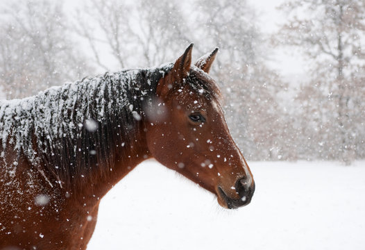 Red bay horse in heavy sbow fall with snow all over her