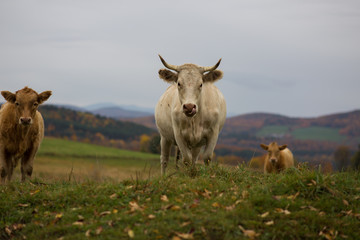 White Cow In A Grass Field During Autumn