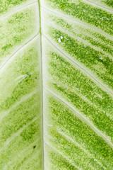 Big green leaf close up background.