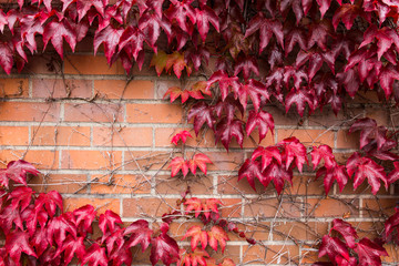 Ivy Leaves Covering Brick Wall