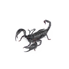 Scorpion isolated on white background