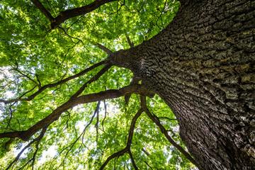 Blick in die grüne Baumkrone einer Eiche