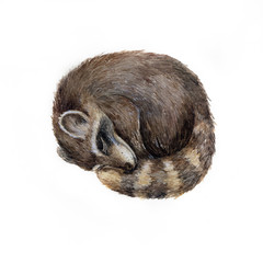 Watercolor cute sleeping raccoon isolated on white. Animalillustration