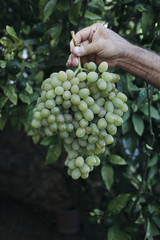 White grapes held in a mans hands