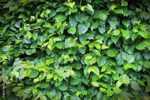 haie de charme carpinus betulus photo libre de droits sur la banque d 39 images. Black Bedroom Furniture Sets. Home Design Ideas