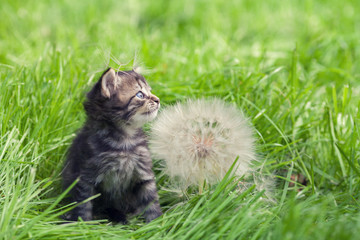 Little kitten walking on the grass next to a large dandelion