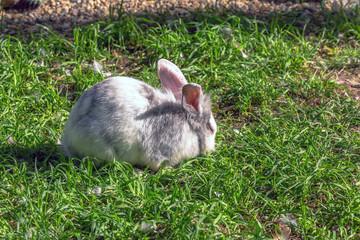 White rabbit on grass under sun light