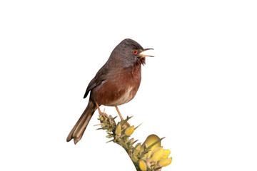 Fotoväggar - Dartford warbler, Sylvia undata,