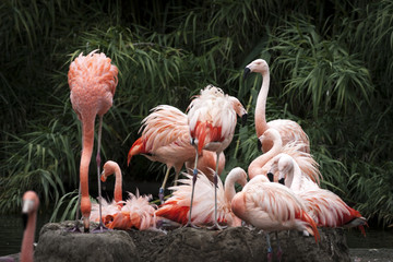 Nesting Flamingos Flock