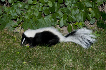 Skunk In Backyard skunk in backyard patio - buy this stock photo and explore similar