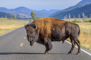 Deurstickers Bison A large male bison is blocking the road