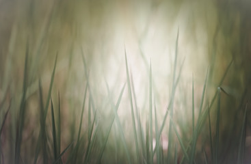Close up of grass field in the morning , shallow dept of field and soft focus process, natural background