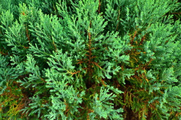 Close up texture of small green leaves Chinese Arborvitae or Orientali Arborvitae, Science name as Thuja orientalis Endl
