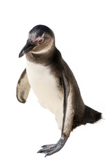 South african penguin standing isolated on white