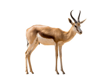 Namibian Springbok standing, full body, isolated on white backgr