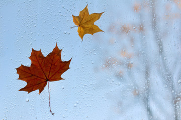 last days of autumn before winter/ Two maple leaf clinging to the window after the rain against the blue sky