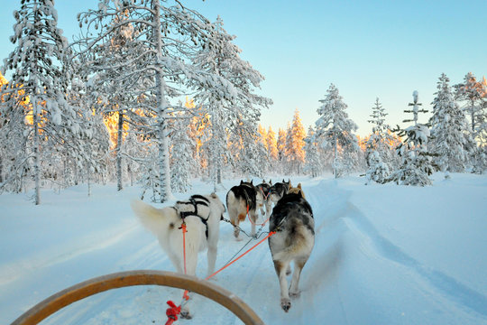 Sled dogs run in Lapland forest