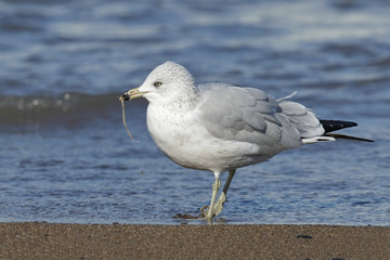 Ring-billed Gull Eating a Worm on a Lake Huron Beach