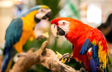 rainbow parrot eat corn on wood of zoo