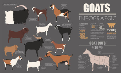 Goat breeds infographic template. Animal farming. Flat design