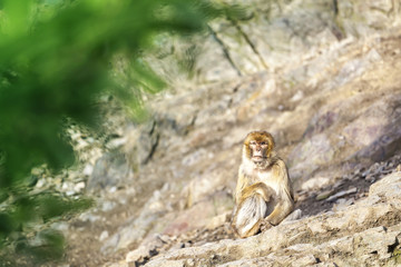Macaca Macaque Monkey Sitting on Rock with Blurred Green Leaves on Foreground