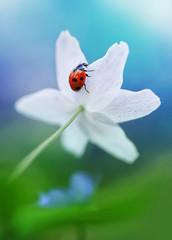 Ladybug on white spring flower close-up. Macro. Congratulation. Card.