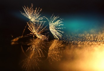 Fototapeta Seeds dandelion mirror reflection. Dark background dandelions in the drops dew with a beautiful golden bokeh. Water droplets sparkle on the seeds of dandelions with the reflection in the mirror.