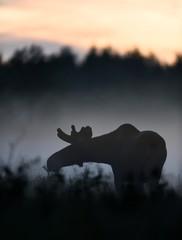 Moose bull at dusk. Moose bull at night. Moose bull in the mist.