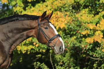 Portrait von einem braunem Pferd vor Baum im Herbst