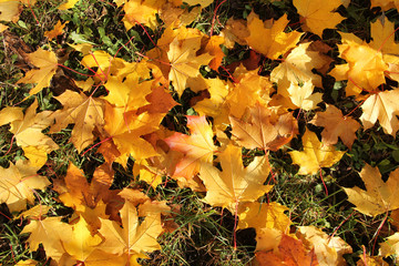 Wall Mural - plenty of fallen bright yellow maple leaves covering the lawn