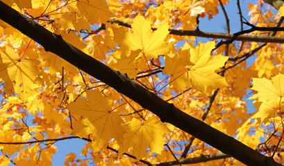 Wall Mural - branch of maple tree with bright yellow leaves enlightened with the sun