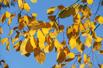 Wall Mural - twigs of alder with bright yellow leaves and blue sky