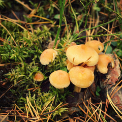 Bunch of honey agaric mushrooms in the moss. Close up photo. Autumn day. Northern nature. Valaam island, Karelia, Russia.