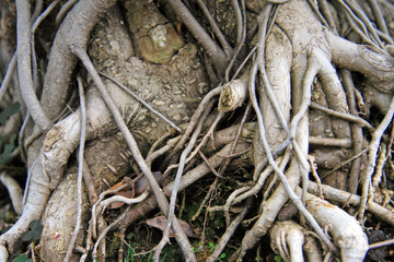 Tangled roots / Tropical plants, trees with roots in the wet tangle of forest