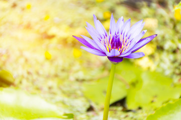 Purple lotus on leaf background and sunshine.Zoom in