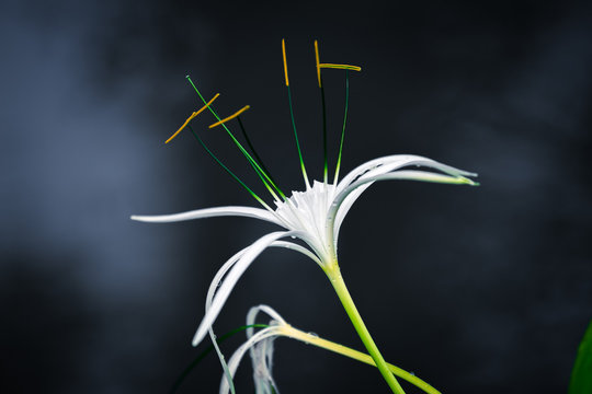White spider lily with dark background with smoke