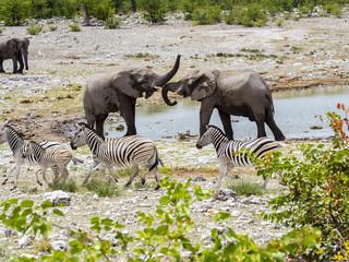 Kämpfende Elefanten, Afrikanischer Elefant ,Loxodonta africana, Wasserloch , .Steppenzebras, Equus quagga burchelli,    Okaukuejo, Etosha Nationalpark, Namibia, Afrika