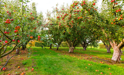 Apple on trees in orchard