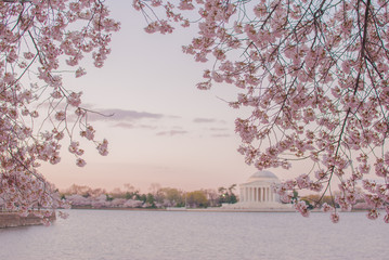 Cherry blossoms against the Jefferson Memorial at dawn