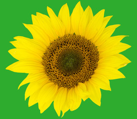 beautiful flower sunflowers on green background