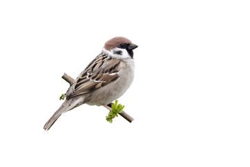 Fotoväggar - Tree sparrow, Passer montanus