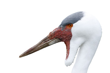 Fotoväggar - Wattled crane, Grus carunculatus