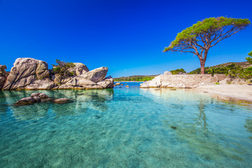 Famous pine tree above the lagoon on Palombaggia beach, Corsica, France