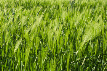 close up of fresh green barley