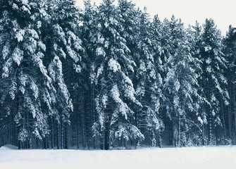 Winter snowy photo landscape forest, pine trees covered snow