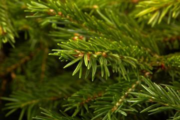 Fir. Fir-tree.