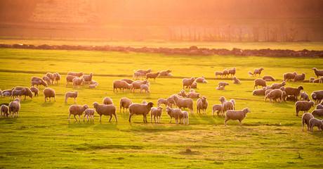 Fond de hotte en verre imprimé Sheep Flock of sheep at sunset
